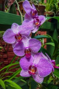 Dom orchideí v Peradeniya
