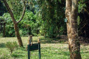Opice v botanickej záhrade Peradeniya