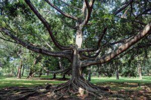 Starý strom v botanickej záhrade Peradeniya