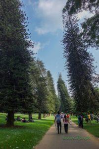 """""""Opité"""" stromy v botanickej záhrade Peradeniya"""