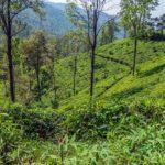 Čajovníkové plantáže v okolí Ella